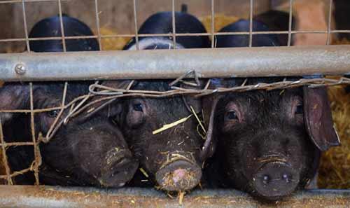 Cerdos criados para la industria carnica