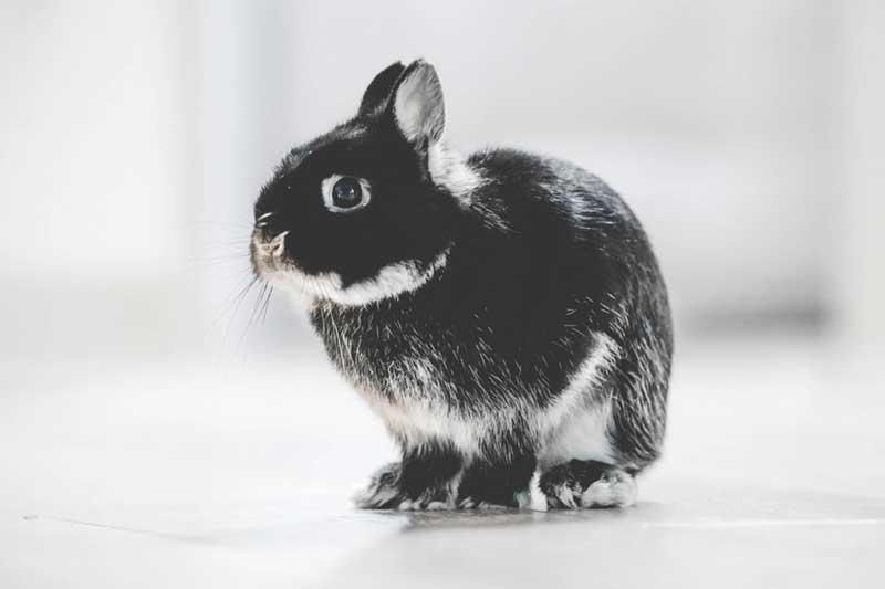 Conejo usado para testar productos de cosmética